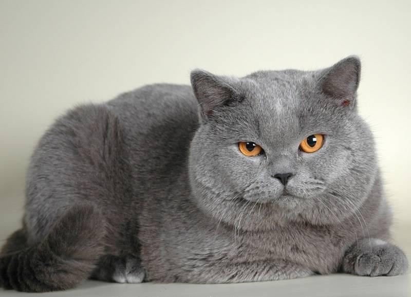 Акне у кошек на подбородке: лечение, причины, фото