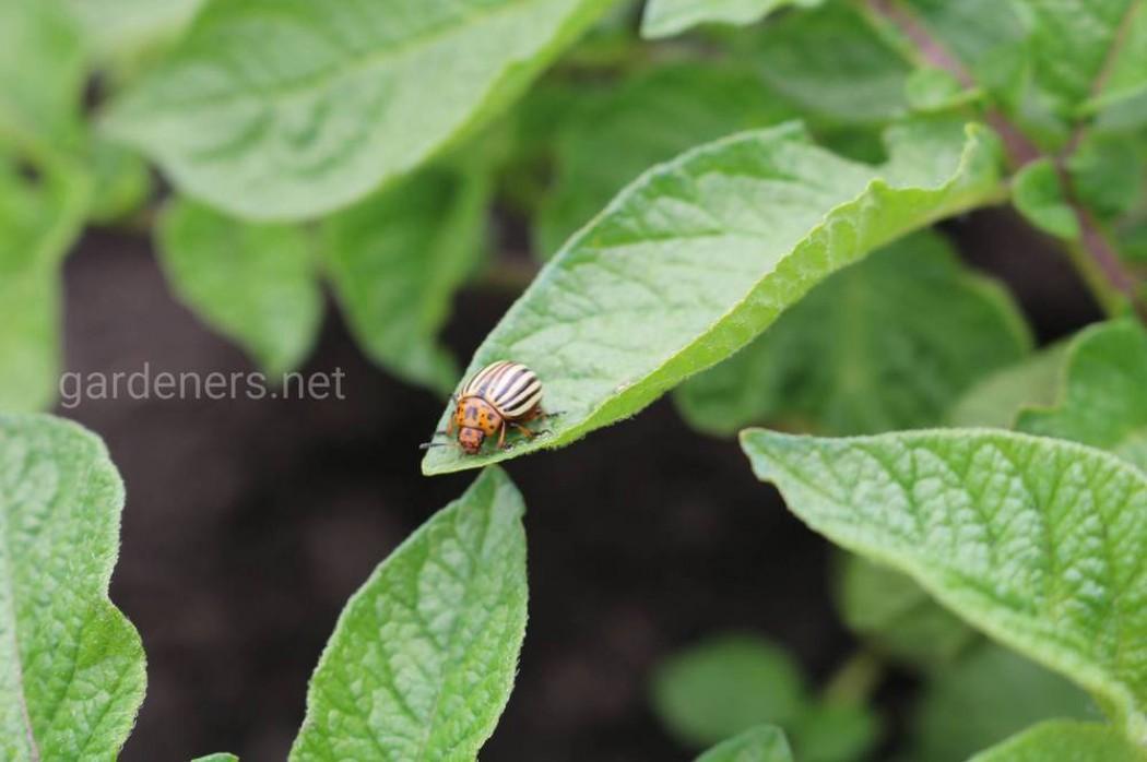 Дегтярное мыло против колорадского жука