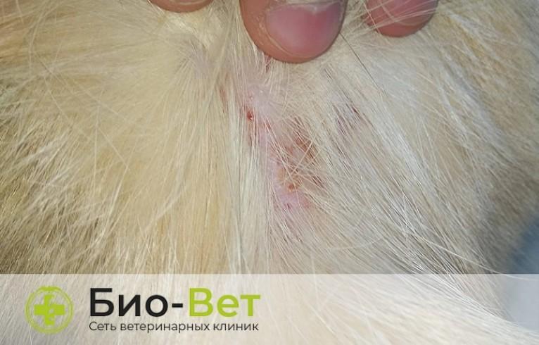 Симптомы подкожного клеща у кошек