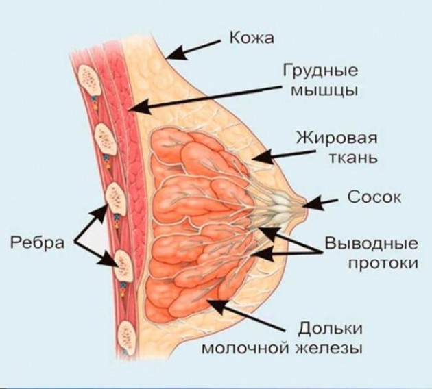 Немного анатомии: особенности строения женской груди