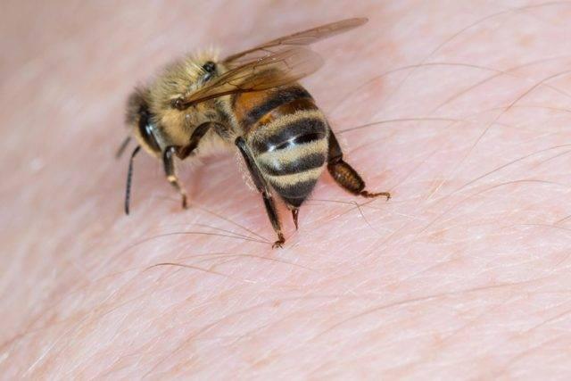Лечение простатита укусами пчел — жало терапии