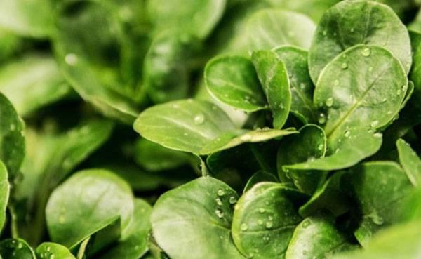 Шпинат — польза и вред для здоровья, свойства и противопоказания
