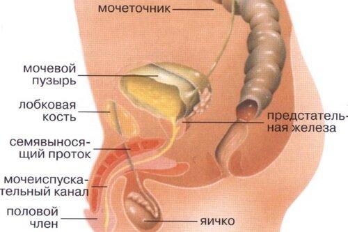Причины и лечение частого мочеиспускания у мужчин народными средствами