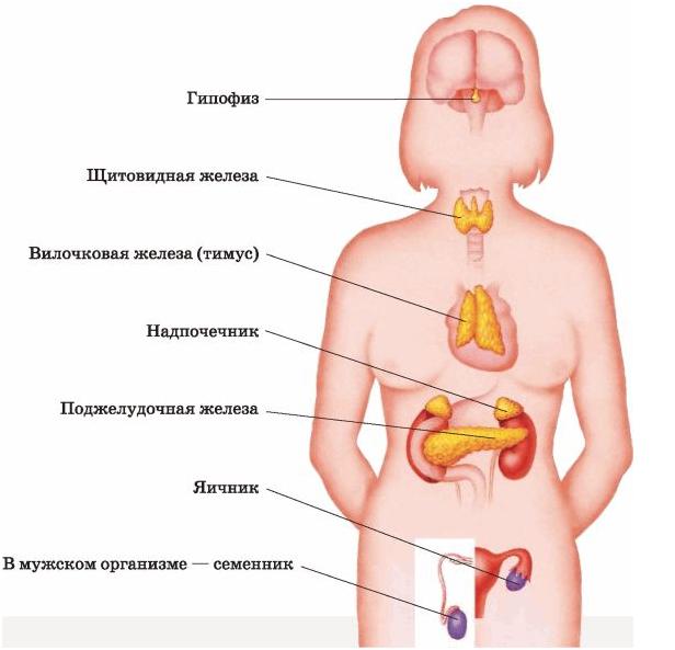 Женские гормоны в мужском организме