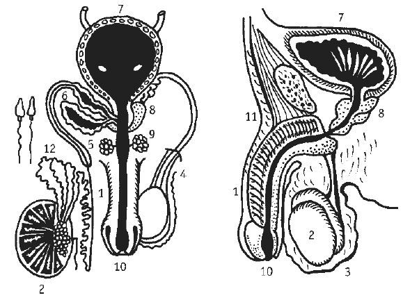 Простата при пальпации норма