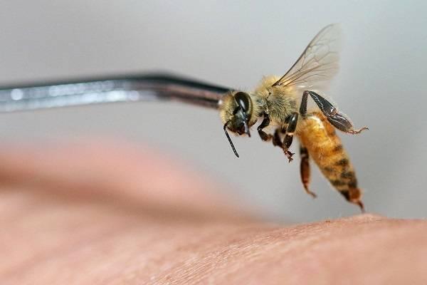 Лечение аденомы простаты пчелами