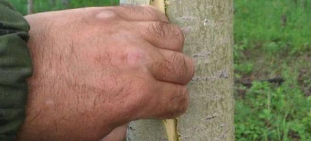 Кора осины: лечебные свойства и противопоказания, рецепты приготовления