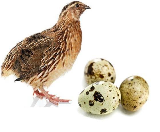 Полезный рацион — перепелиные яйца: польза и вред, как принимать в лечебных целях