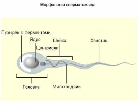 Морфология сперматозоидов по крюгеру