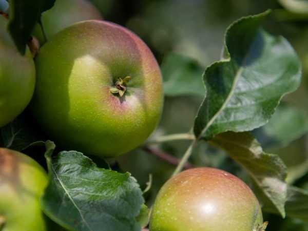 Маска для лица в домашних условиях из яблока от морщин. рецепты домашних масок для кожи лица из яблок