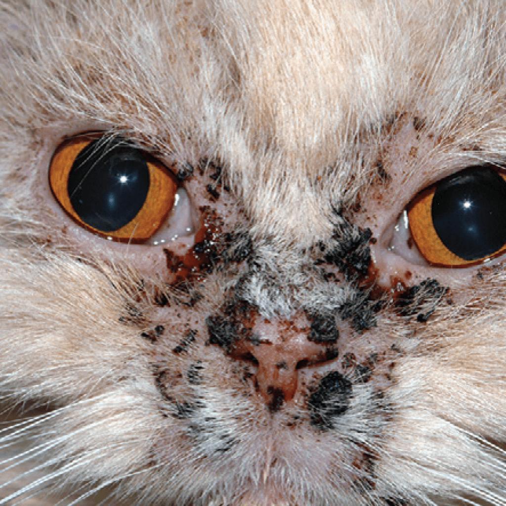 Причины и лечение акне у кошки на подбородке