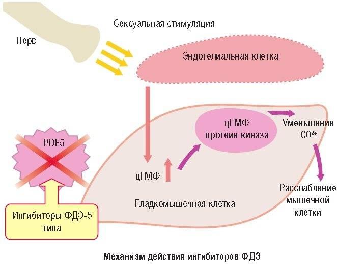 Инструкция по применению силденафила