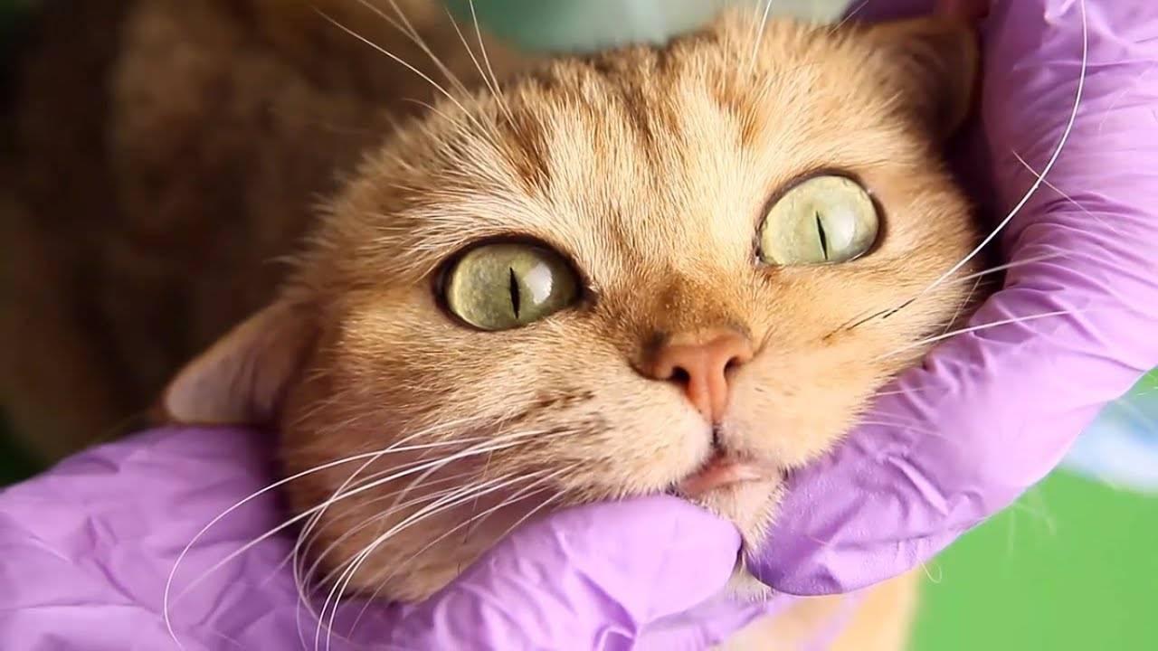 Лечим акне у кошек в домашних условиях: симптомы и причины, акне на подбородке