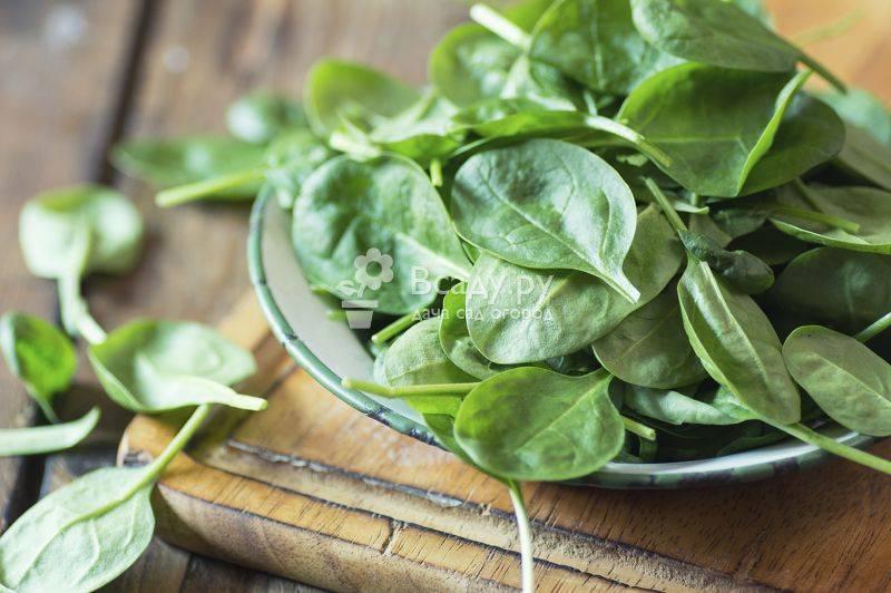 Скромный зеленый лекарь шпинат - польза и вред овоща, способы употребления