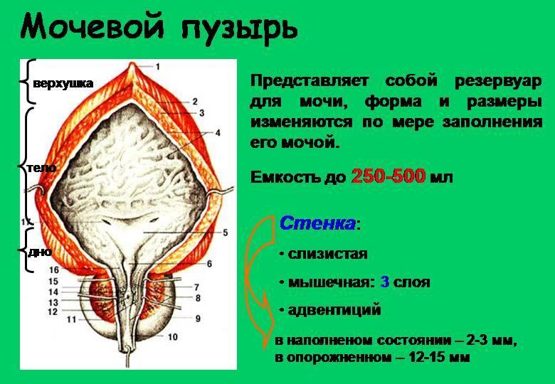 Нормальный размер простаты у мужчин в возрасте 65 лет