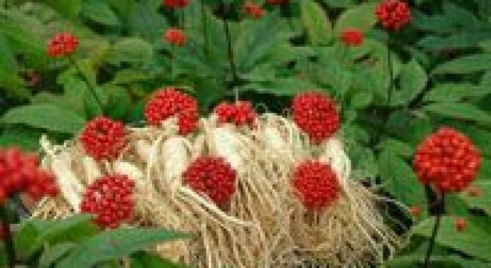 Применение настойки корня женьшеня