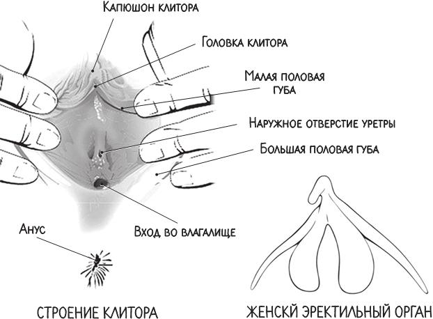Шишки и прыщи на половых органах у женщин