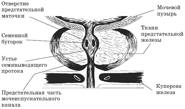 Что такое простата и где она находится? расположение и функции органа