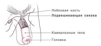 Лигаментотомия — пластическое увеличение полового члена