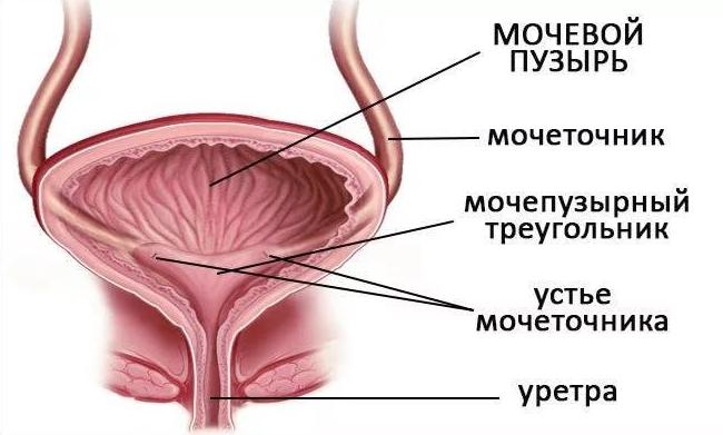 Норма размеров предстательной железы по узи