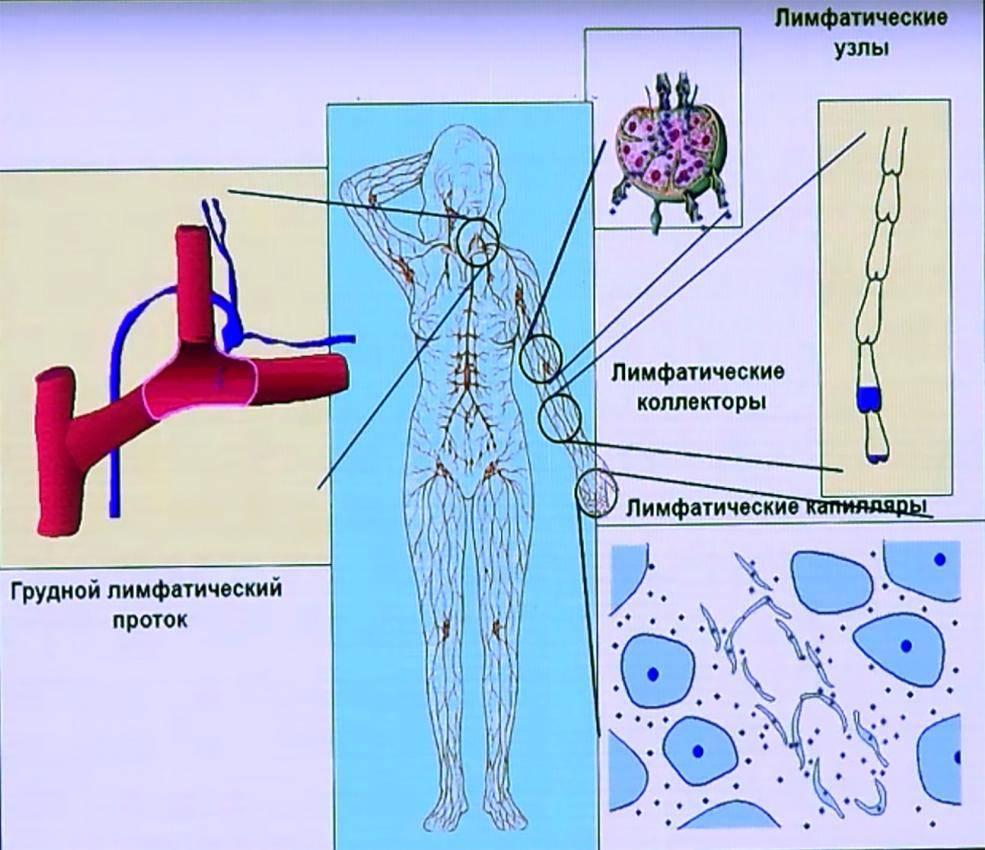 Лимфатические узлы на теле человека: где находятся и для чего нужны. расположение лимфоузлов на теле человека в картинках и схемах с подробным описанием и методикой обследования