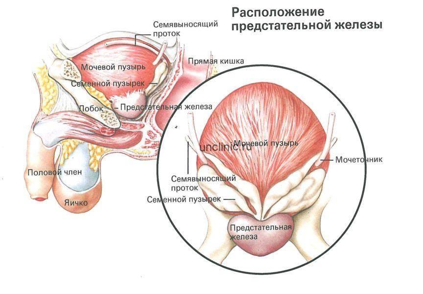 Предстательная железа размеры норма у взрослых узи — простатит