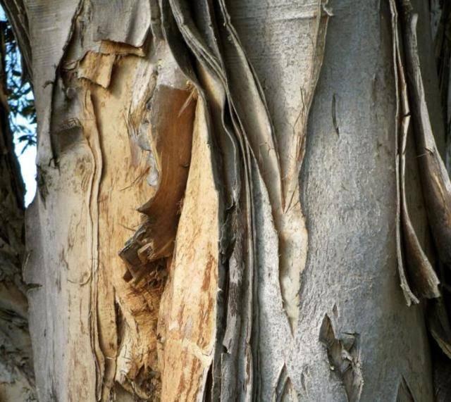 Лечимся натуральным – рецепты на основе осиновой коры от простатита